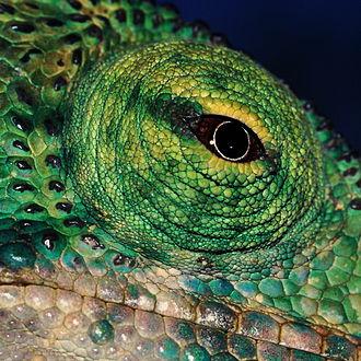 Chameleon vision - Chameleon eye