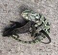 Chameleons mating 26-08-2010 12-18-30 2268x2130.jpg