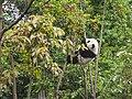 Chengdu Panda Breeding Research Center, Chengdu, China (Unsplash).jpg