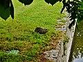 Chenonceaux Bisamratte im Parc Chenonceau 1.jpg
