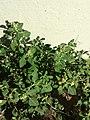 Chenopodium vulvaria sl1.jpg