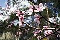 Cherry Blossom (205867341).jpeg