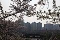 Cherry Blossom in Yeouido Park - panoramio (3).jpg