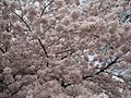 Cherry Blossoms - Flickr - brewbooks.jpg