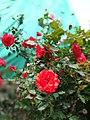 Cherry Red Roses.jpg