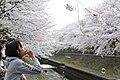 Cherry blossom near Zenpukuji river, Tokyo; March 2008 (18).jpg