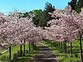 Cherry grove2.JPG