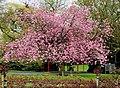 Cherry tree, Belfast (2) - geograph.org.uk - 1832970.jpg