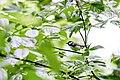 Chestnut-sided warbler (19769578632).jpg