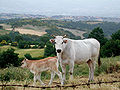 Chianina cow and calf, Tuscany.jpg