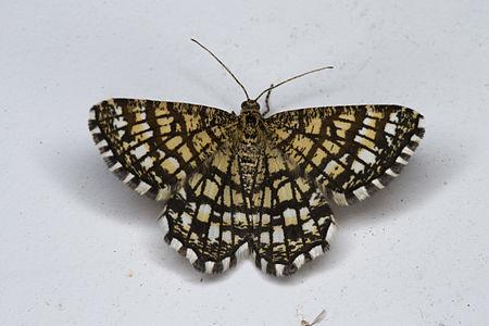 Chiasmia clathrata, Lodz(Poland)01(js).jpg