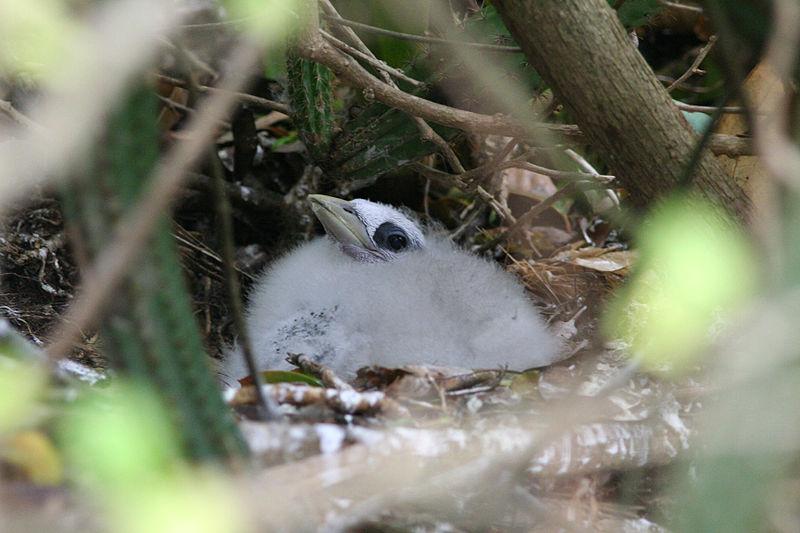 File:Chick Red-billed Tropicbird (Phaeton aethereus mesonauta).jpg