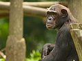 Chimpanzee X (13945312162).jpg