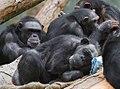 Chimpanzees.jpg
