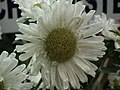 China Aster from Lalbagh flower show Aug 2013 8106.JPG