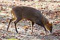 Chinesischer Muntjak Muntiacus reevesi Tierpark Hellabrunn-6.jpg
