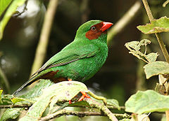 Grass-green Tanager, Chlorornis riefferii