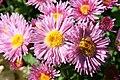 Chrysanthemum Madeline 0zz.jpg
