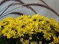 Chrysanthemums (1462408758).jpg