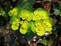 Chrysosplenium alternifolium flowers.jpg
