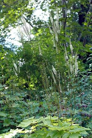Cimicifuga - Cimicifuga heracleifolia