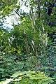 Cimicifuga heracleifolia (aka).jpg