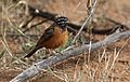 Cinnamon-breasted bunting, Emberiza tahapisi, at Pilanesberg National Park, Northwest Province, South Africa (28486796805).jpg