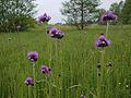 Cirsium canum, Białowieża, Poland (4664045605).jpg