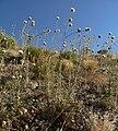 Cirsium neomexicanum 8.jpg