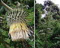 Cirsium subcoriaceum (9242710176).jpg