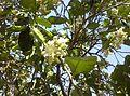 Citrus blossoms Kefar Saba February 2015 h.jpg
