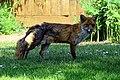 City of London Cemetery, Newham, London England - fox 16.jpg