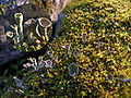 Cladonia fimbriata 02.jpg