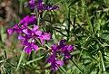 Clarkia pulchella - Jardin des Plantes.jpg