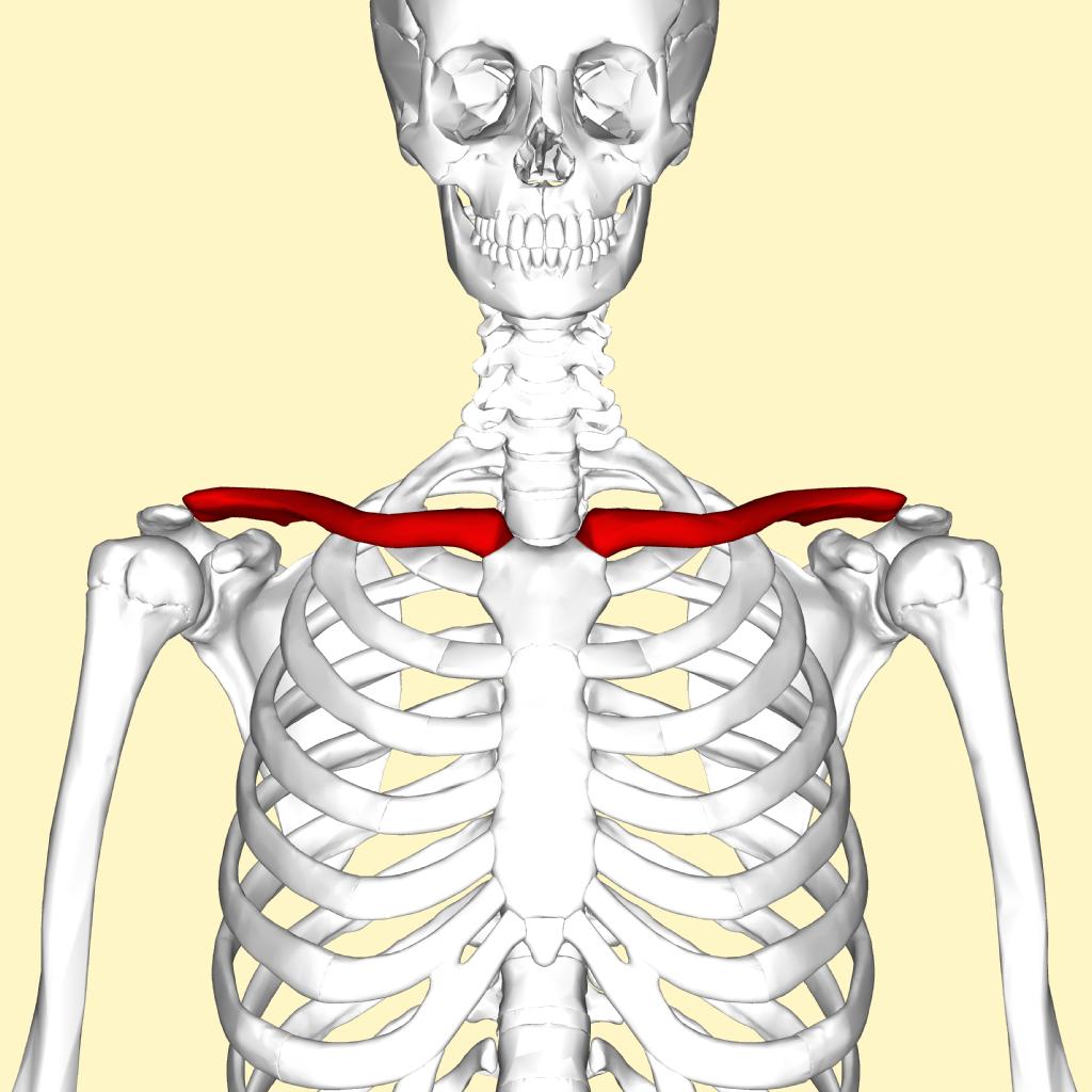 Íomhá:Clavicle - anterior view.png - Vicipéid