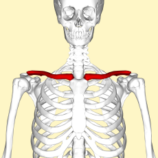 Clavicle - anterior view.png