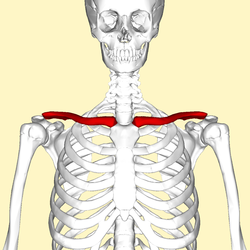 clavicle wikipedia Knee Joint Anatomy Diagram clavicle