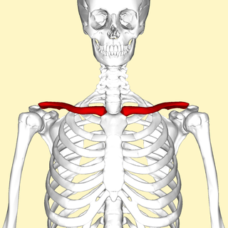 Clavicle plain bone of short length that serves as a strut between the scapula and the sternum