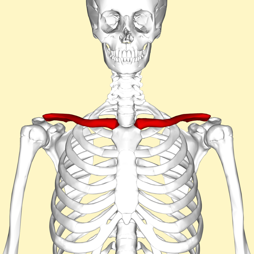Clavicle - anterior view