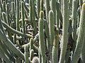 Cleistocactus clavicaulis (7996985118).jpg