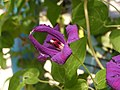Clematis cultivars in Sedovo 2.jpg
