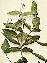 Clematis ochroleuca WFNY-074.jpg