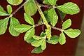 Cleome viscosa L. (AM AK302073-6).jpg