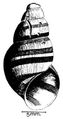 Cleopatra sp shell.png