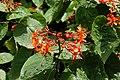 Clerodendrum speciosissimum 3045.jpg
