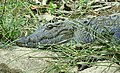 Close up of Mugger crocodile in Gir Forest National Park DSCN9934 02.jpg