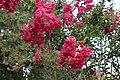 Close up of red Crepe Myrtle, Havana.jpg