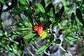 Cneorum tricoccon fruit.jpg