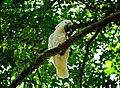 Cockatoo @ Lyon Arboretum (5170655581).jpg