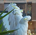 Cockatoos-too - panoramio.jpg